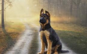 Картинка лес, взгляд, закат, фон, друг, щенок, немецкая овчарка