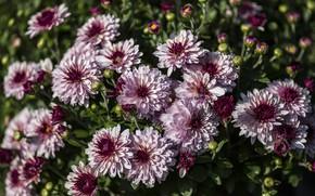 Картинка осень, цветы, хризантемы