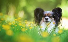 Картинка зелень, лето, трава, взгляд, цветы, собака, желтые, луг, щенок, мордашка, собачка, милашка, малышка, лужайка, боке, …