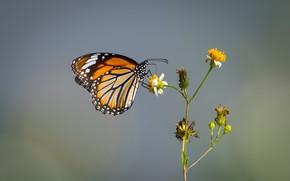 Картинка бабочка, butterfly, Данаида монарх