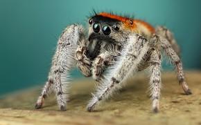 Картинка глаза, макро, поверхность, поза, фон, лапки, паук, мохнатый, рыжий, бирюзовый, прыгун, джампер, паучок, скакунчик, прыгунчик, …