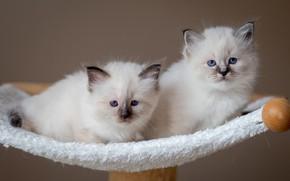 Картинка взгляд, кошки, поза, котята, белые, парочка, дуэт, два, мордочки, два котенка, лежанка, рэгдолл
