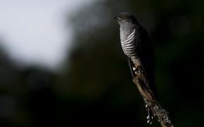 Картинка природа, птица, кукушка