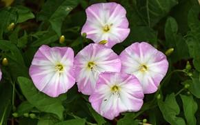 Картинка Цветочки, Flowers, Pink flowers, Розовые цветы