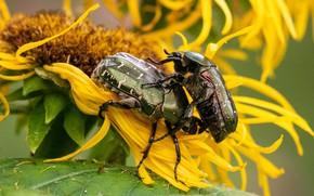 Картинка подсолнухи, цветы, жук, желтые, пара, жуки, два, бронзовка, два жука