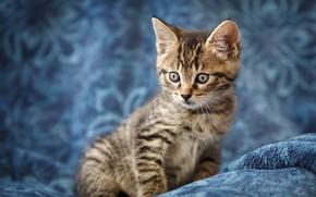 Картинка кошка, взгляд, котенок, серый, малыш, мордочка, котёнок, полосатый, голубой фон
