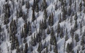 Картинка зима, снег, ель, склон, Канада, Национальный парк Йохо