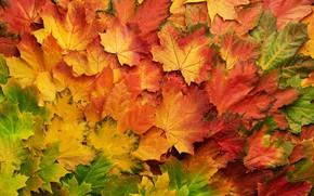 Картинка осень, листья, фон, colorful, клен, background, autumn, leaves, maple