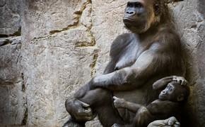 Картинка горилла, детеныш, человекообразные