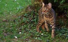 Картинка зелень, кошка, лето, трава, кот, взгляд, морда, цветы, серый, поляна, ромашки, полосатый, боке