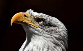 Картинка птица, хищник, белоголовый орлан, Орлан