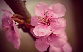 Картинка вишня, ветка, весна, цветение