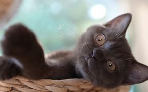 Картинка кошка, взгляд, поза, котенок, серый, фон, портрет, малыш, лежит, котёнок, мордашка, корзинка, лапка