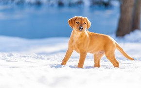 Картинка зима, снег, собака, щенок, Лабрадор-ретривер
