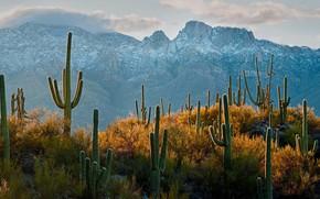 Картинка кактус, Аризона, США, Тусон, пустыня Сонора, карнегия гигантская, сагуаро