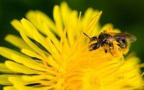 Картинка цветок, желтый, пчела, одуванчик