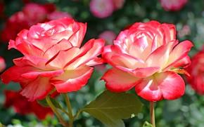 Картинка розы, дуэт, пестрый