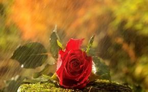 Картинка дождь, камень, роза