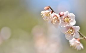 Картинка цветы, веточка, фон, нежность, весна, сакура, боке