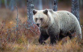 Картинка осень, трава, медведь, прогулка
