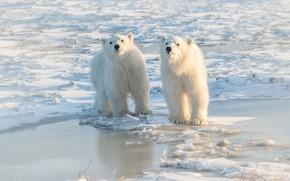 Картинка зима, белый, взгляд, свет, снег, природа, фон, берег, лёд, медведь, медведи, мишка, пара, льдины, медвежонок, …