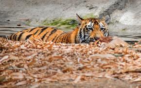 Картинка тигр, купание, водоем