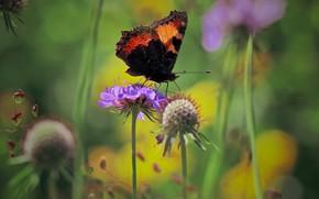 Картинка лето, макро, цветы, природа, бабочка, крапивница
