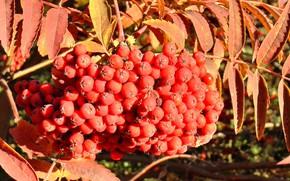 Картинка осень, ягоды, кисть, рябина