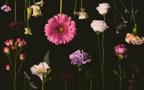 Картинка цветы, розы, colorful, розовые, черный фон, black, pink, flowers, background, сиреневые, roses, violet, гвоздики