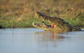 Картинка рыба, хищник, крокодил, пасть, водоем, рептилия, улов