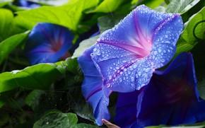 Картинка листья, капли, макро, цветы, паутина, сад, голубые, вьюн, синие, лиана, вьюнок, ипомея