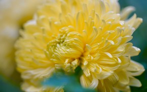 Картинка цветок, макро, размытие, лепестки, желтая, боке, хризантема