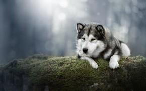 Картинка фон, мох, собака, Аляскинский Маламут