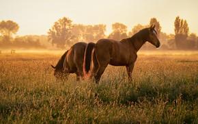 Картинка поле, трава, взгляд, свет, туман, две, кони, утро, лошади, пастбище, пара, две лошади, два коня