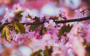 Картинка листья, свет, цветы, вишня, красота, ветка, весна, сакура, розовые, розовый фон, цветение, боке