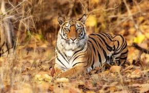 Картинка взгляд, листья, тигр, дикая кошка, красавец