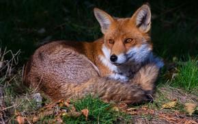 Обои трава, листья, темный фон, лиса, лежит, рыжая, лисица