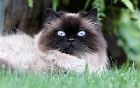 Картинка кошка, трава, глаза, кот, природа, портрет, голубые, мордочка, лежит, красотка, огромные, глазища, пушистая, сиамская, колор-пойнт, …