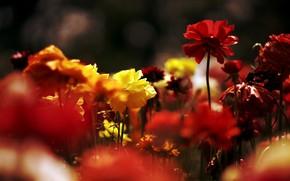 Картинка свет, цветы, темный фон, яркие, разноцветные, много, лютики, ранункулюсы