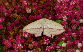 Картинка лето, макро, цветы, фон, бабочка, крылья, насекомое, розовые, мотылёк, бутоны, много, бежевая