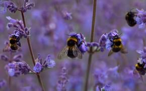 Картинка поле, шмели, цветки, пчёлы