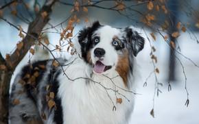 Картинка морда, ветки, собака, деревце, Австралийская овчарка, Аусси, Светлана Писарева