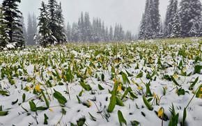 Картинка лес, снег, цветы, туман