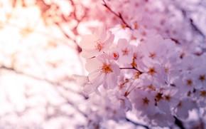 Картинка свет, цветы, ветки, вишня, дерево, куст, весна, сакура, нежные, белые, цветение, боке, слива, в цвету, …