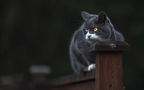 Обои кошка, кот, взгляд, морда, поза, темный фон, серый, забор, столб, сидит, дымчатый, желтые глаза