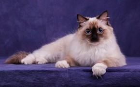 Картинка кошка, кот, взгляд, морда, поза, лапки, лежит, голубые глаза, пушистая, фиолетовый фон, сиамская, фотостудия, отметины, …