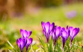 Картинка зелень, свет, поляна, яркие, весна, крокусы, сиреневые