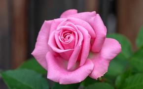 Картинка цветок, макро, фон, розовая, роза, бутон