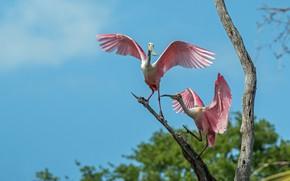 Картинка птицы, пара, розовые