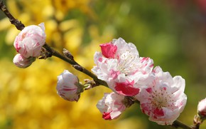 Картинка цветы, ветка, весна, сакура, бутоны, цветение, желтый фон, боке, бело-розовые